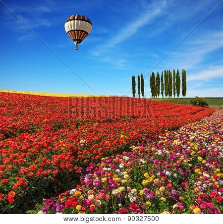 Spring  day. Huge balloon flying over the field. Field of colorful blooming buttercups - ranunculus. On the horizon is growing cypress alley
