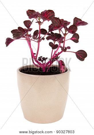 Iresine herbstii pink plant potted over white background