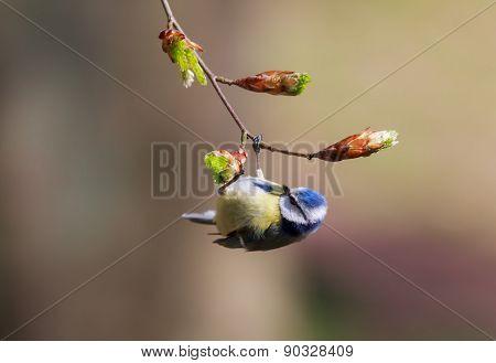 Eurasian blue tit hanging on a branch