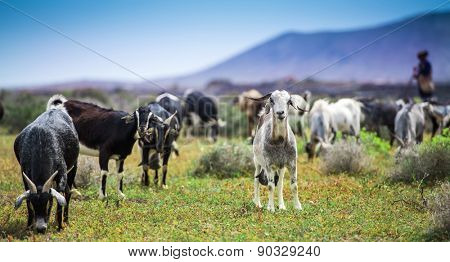 Goats, pasturing on a beautiful mountainous meadow