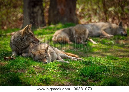 Pack Of Coyotes Sleeping And Resting In Forest