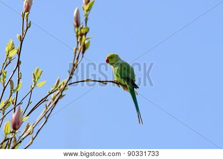 Green Parakeet On Magnolia Branch
