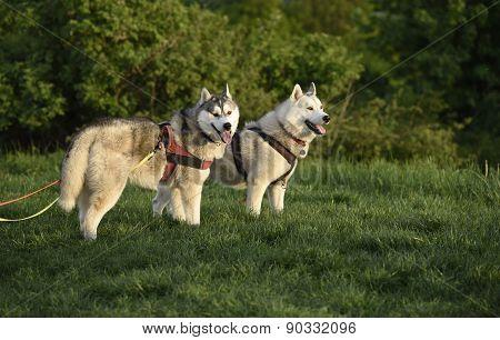 Siberian husky dogs
