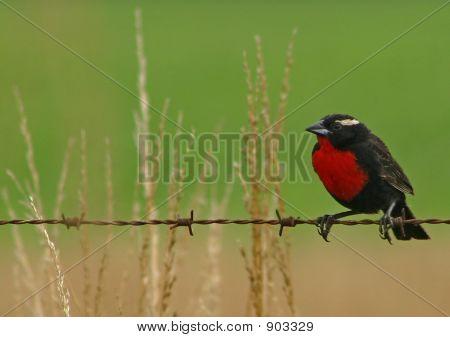White-Browed Blackbird