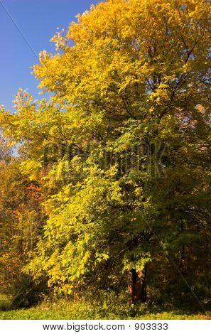 Autumn Yellow Woodland