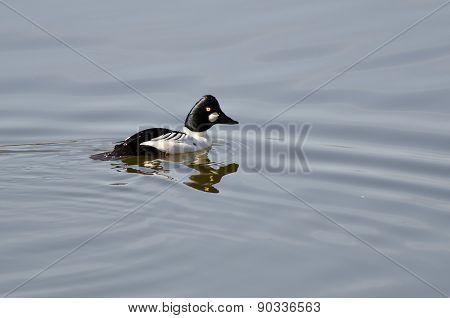 Male Common Goldeneye Swimming In The Lake