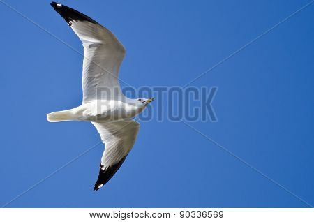 Ring-billed Gull Flying In A Blue Sky