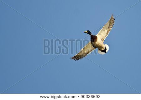 Mallard Duck Flying Alone In The Blue Sky