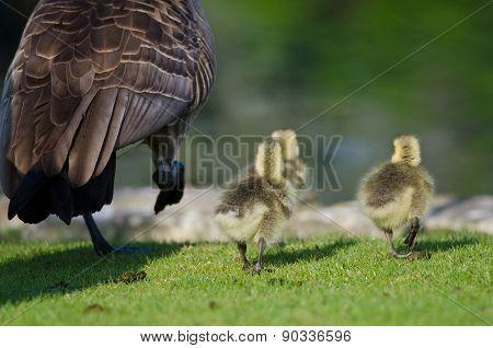 Three Adorable Little Gosling Running Alongside Of Mom