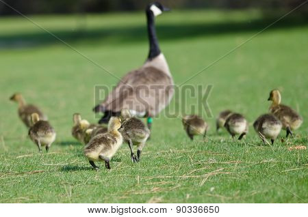 Adorable Little Goslings Running To Catch Mom