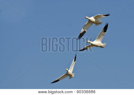 Three Snow Geese Flying In A Blue Sky