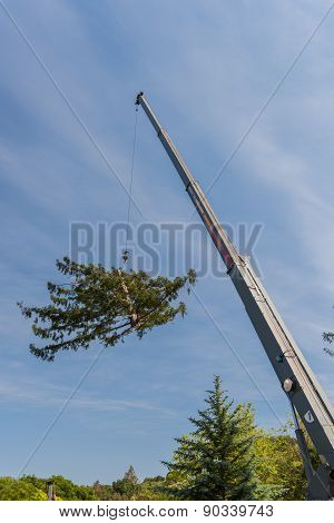 Crane Moves Large Section Of  Redwood Tree