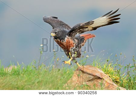 A jackal buzzard (Buteo rufofuscus) on a rock, South Africa
