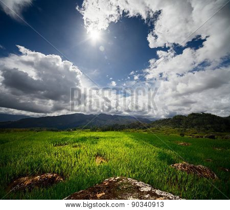 Green rice field with rocks at sunny day. Sulawesi island, Indonesia
