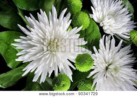 Three asters