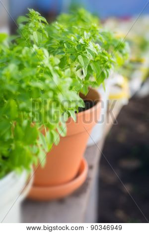 Basil potted garden herbs