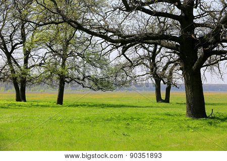 Spring meadow with oak trees