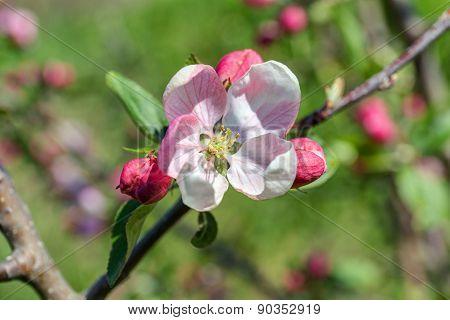 Apple Tree Closeup