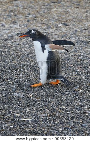 Beautiful gentoo penguin on the beach