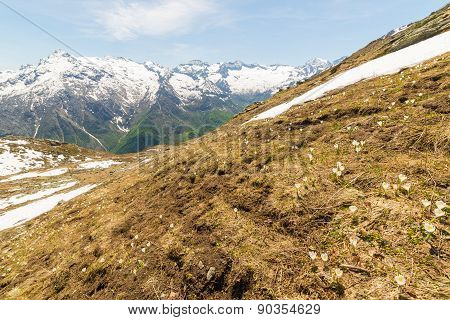 Alpine Flowers And Landscape In Springtime