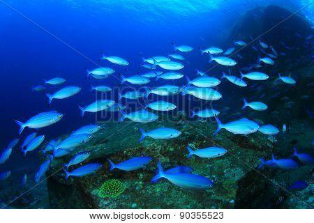 School Fusilier fish