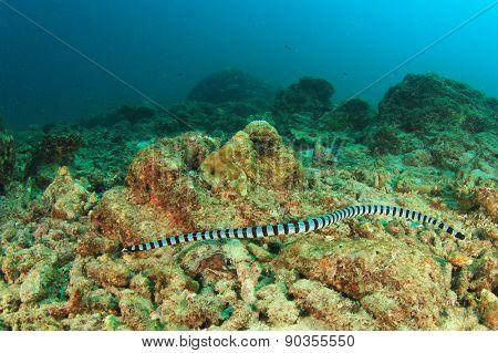 Banded Sea Snake
