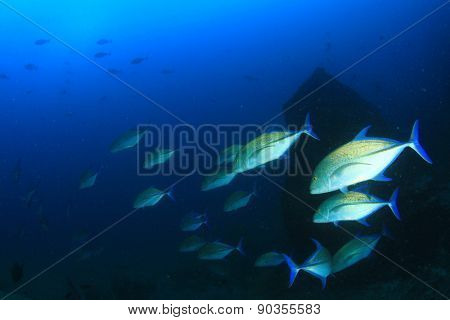 Bluefin Trevally fish (Jack fish) hunting