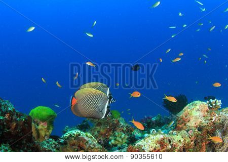 Pair Redtail Butterflyfish on coral reef underwater in ocean