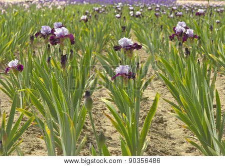 Iris Field In Keizer Oregon.
