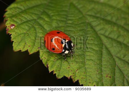Ladybird Beetle (Coccinella septempunctata)