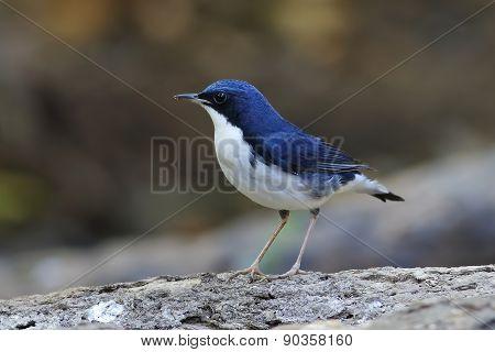 Siberian Blue Robin Luscinia Cyane