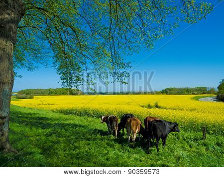 rural landscape with cows in spring