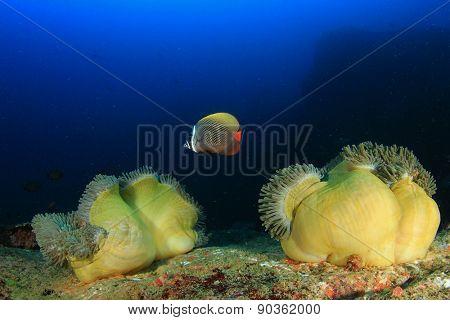 Coral, Anemones, Redtail Butterflyfish underwater on reef