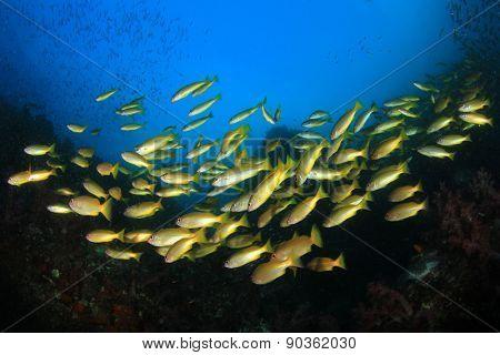 School yellow Bigeye Snapper fish coral reef underwater