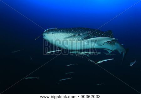 Whale Shark in ocean with remora fish
