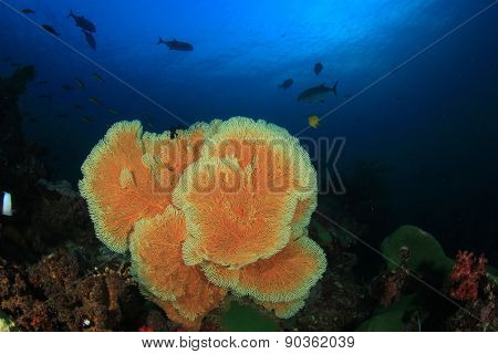Gorgonian Fan Coral on reef