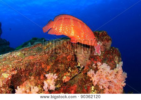 Coral Grouper fish