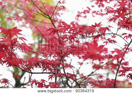 Red Maple Foliage Background