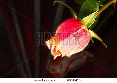 Beautiful Wild-growing Scarlet Rose