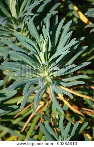 Euphorbia characias (Mediterranean Spurge or Albanian spurge)