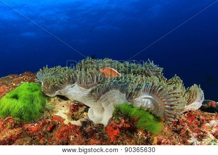 Skunk Anemonefish (Clownfish) in anemone on coral reef