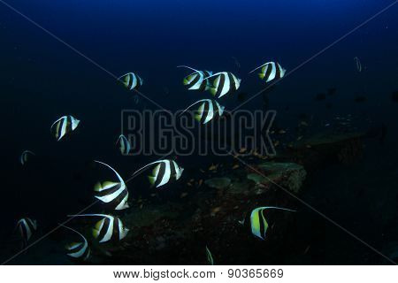 Tropical fish underwater: Schooling Bannerfish