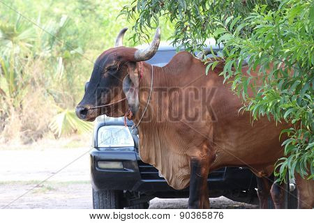 Asian Cow On The Country Road