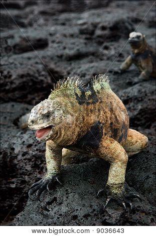 The Male Of The Marine Iguana.