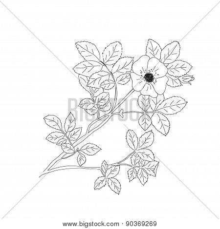 Sweet Briar Or Rosa Rubiginosa