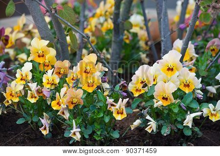 Pansy flowers closeup