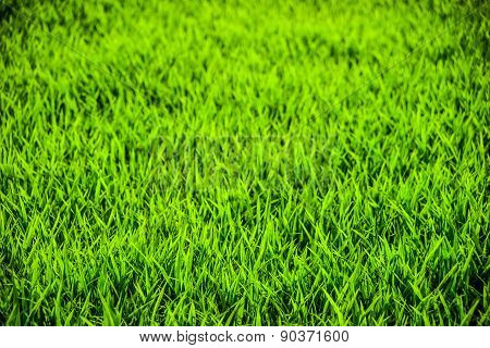 Closeup of rice field.