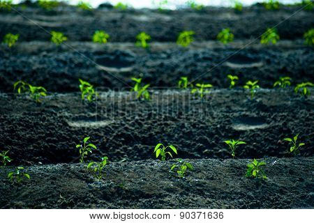 green rows of growing cereals