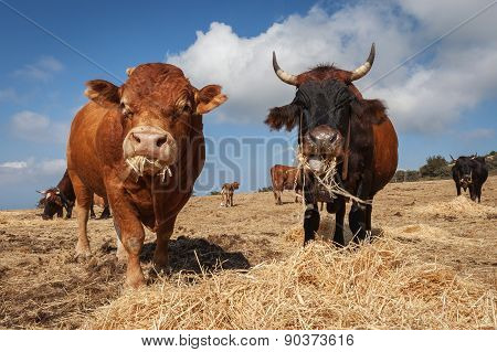 Bulls Closeup