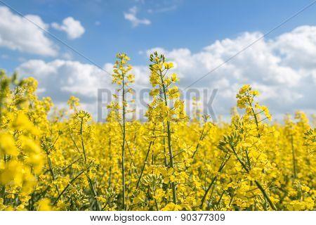 canola_rapeseed farm